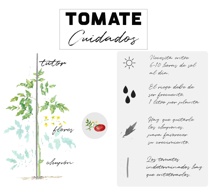 Planta tomates: cuidados