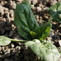 Cultivo de espinaca en el huerto