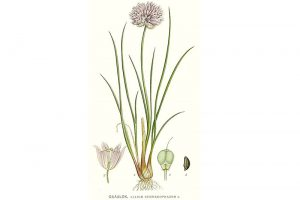 Plantas Medicinales Allium Schoenoprasum