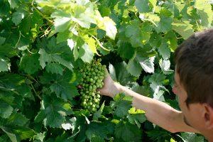 Bolsas de organza para proteger uvas