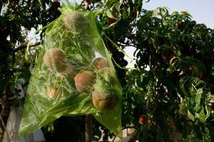 Bolsas de organza para proteger melocotones