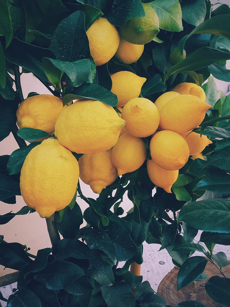 cómo se cultiva un limonero