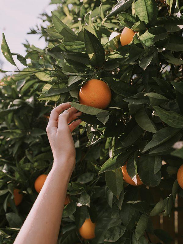 Cómo se planta un naranjo