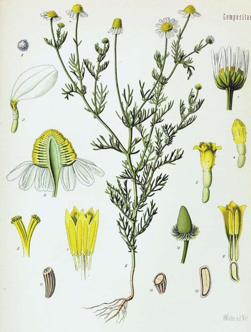 Cultivo de manzanilla