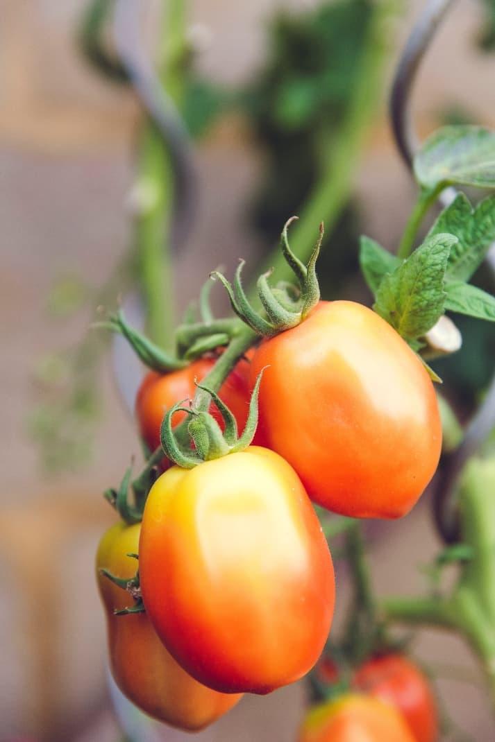 Carencias del tomate