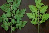 Carencia del tomate: nitrógeno