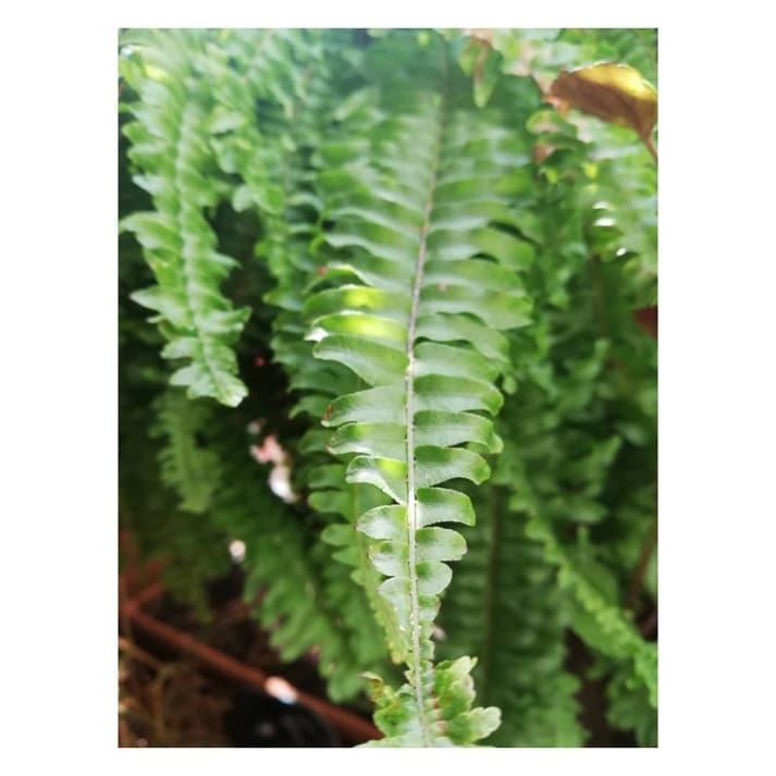 Helecho, planta y curiosidades