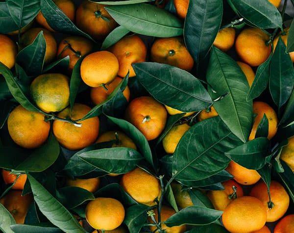 Mandarinas, ¿cuándo plantarlas?