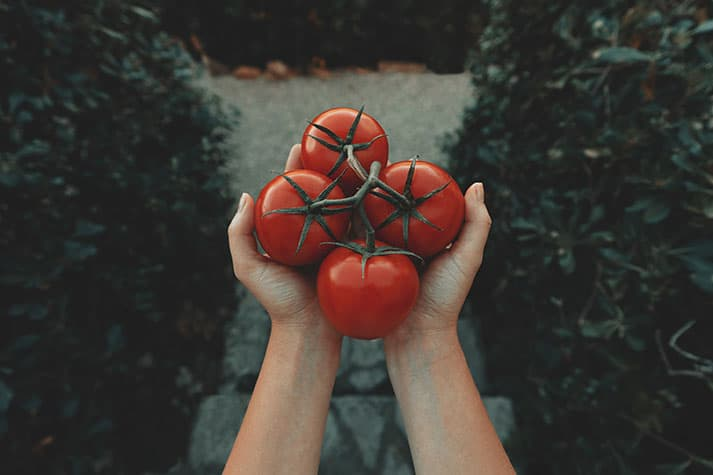 Cultivo variedades de tomates en huerto