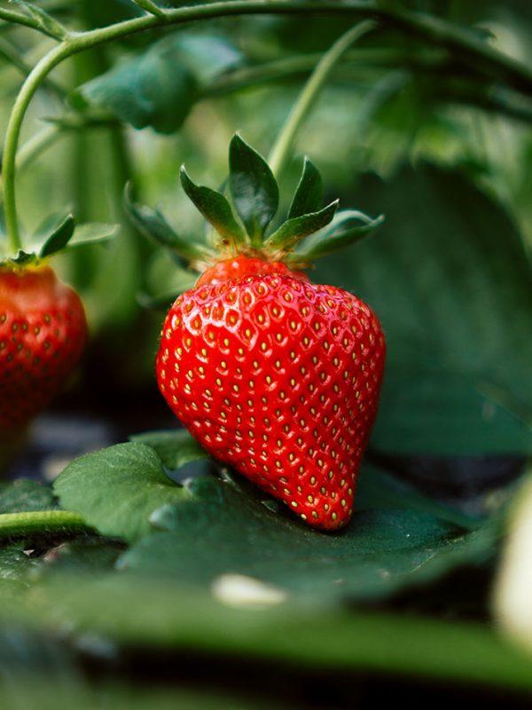 Cultivo de fresas en casa