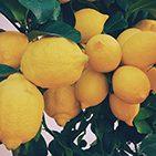 Recogida de limones