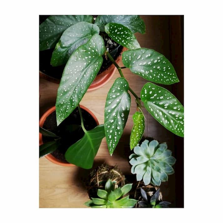 Begonia planta