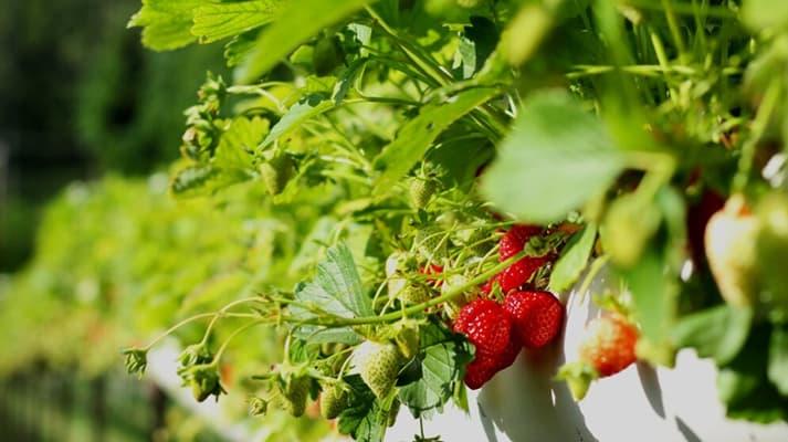 Plantas de fresa para medir la calidad del aire en Madrid