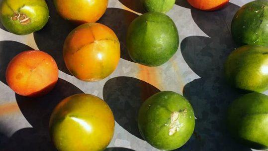 Conservas de tomates verdes