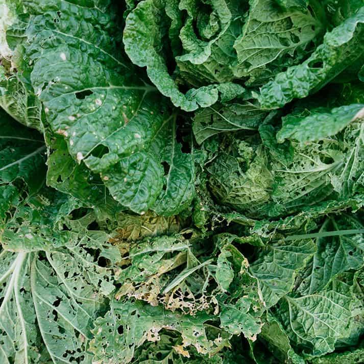 Agujeros en las hojas de las hortalizas