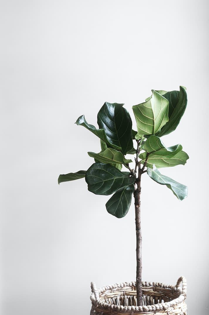 Ficus lyrata: cuidados de la planta