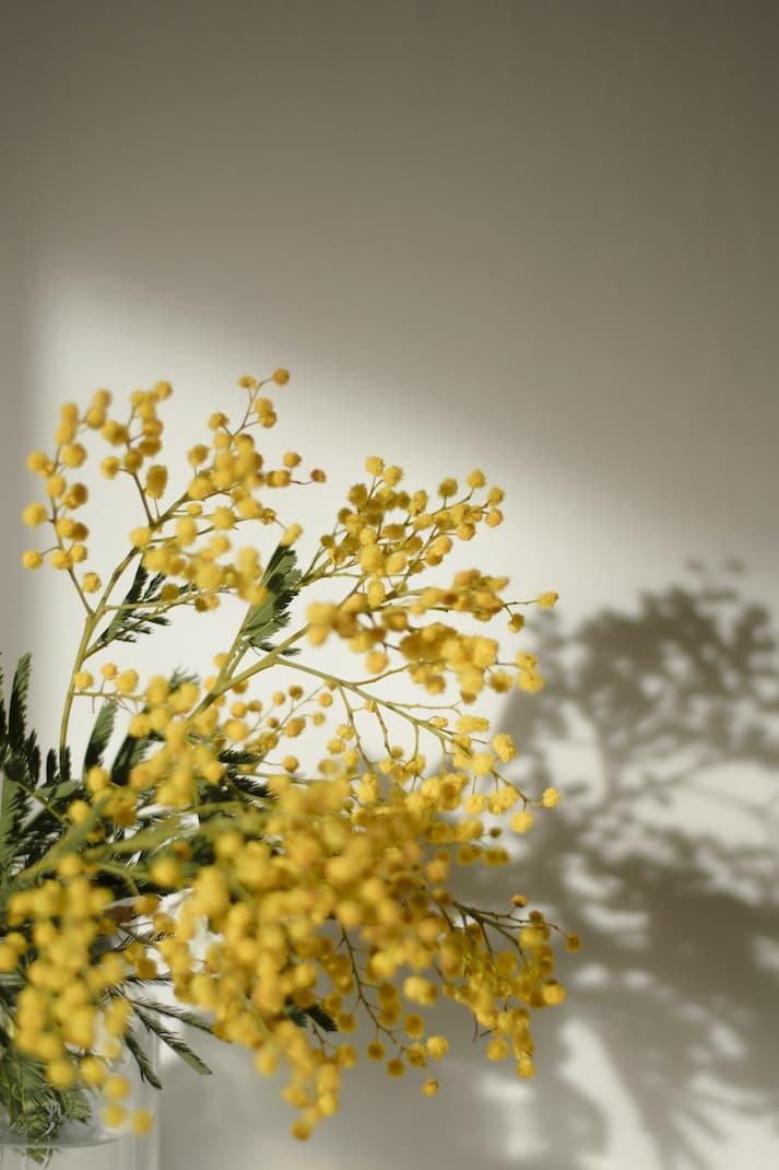 Cuidado planta mimosa