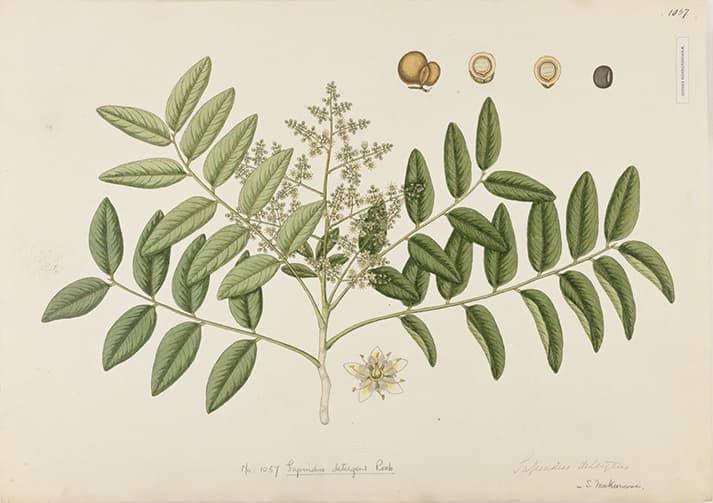 Árbol Sapindus Mukorossi, fruto detergente para ropa