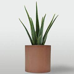 Planta de interior: aloe vera
