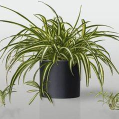 Planta de interior: cinta