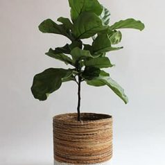Planta de interior: ficus lyrata