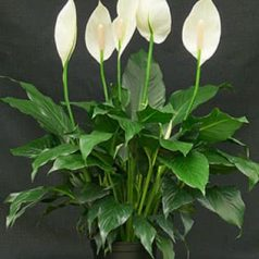 Planta de interior: lirio de la paz