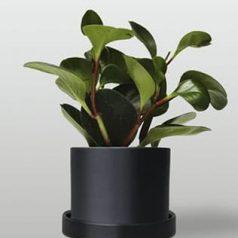 Planta de interior: peperomia