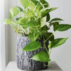 Planta de interior: poto