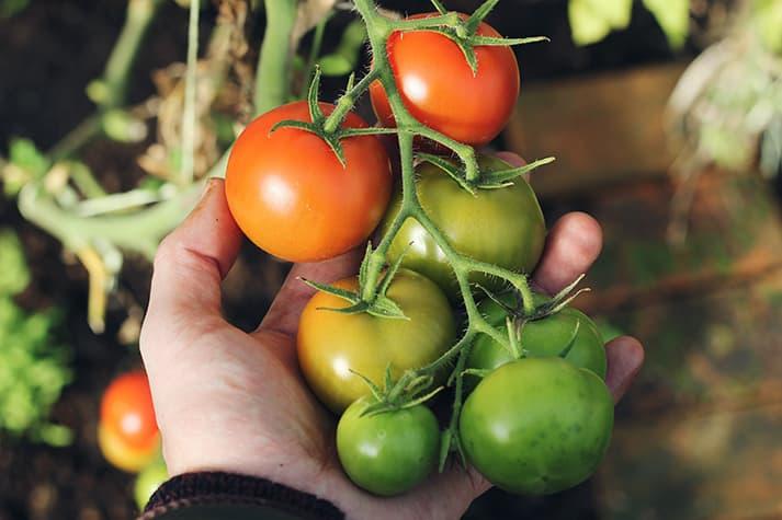 Cuándo plantar tomates en Madrid