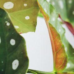 Plantas tóxicas para mascotas: begonia maculata