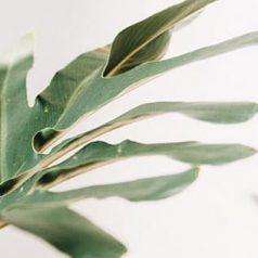 Philodendro planta