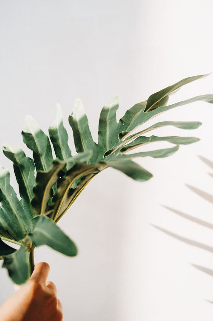 Philodendro, plantas que ayudan a purificar el aire