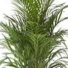 Areca: planta que purifica el aire