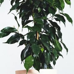 Planta ficus benjamina, que ayuda a purificar aire