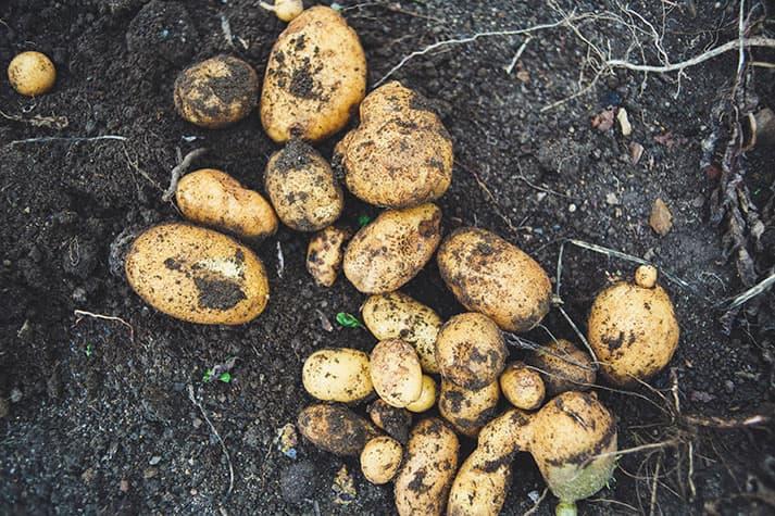 Cuándo cultivar patatas en el huerto