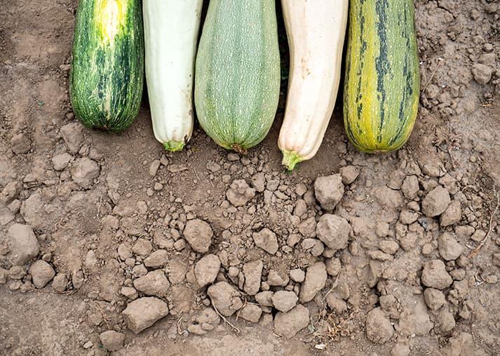 Calabacín cultivo huerto