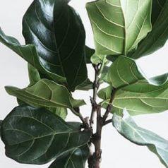 Plantas tóxicas para mascotas: ficus lyrata