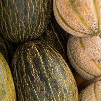 Recoger melones en el huerto en septiembre